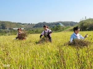低農薬栽培のため 草むしりは大忙し