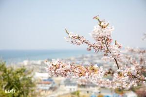 海と空と桜が一度に楽しめる