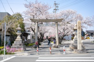 参道の入り口からは鳥居と桜が映える