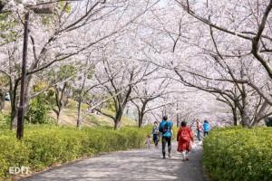 桜の屋根をくぐる 於大公園の坂道