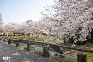 桜の木の下で花見を楽しむ