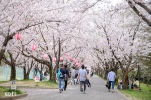 空がすべて桜で埋め尽くされる ここでしか味わえぬ散歩道