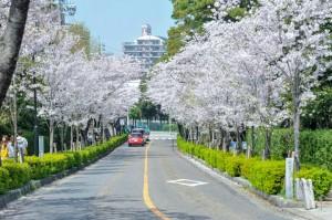 公園に向かう坂道を彩る桜