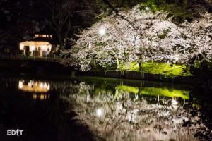 ライトアップされ水面に映る夜桜
