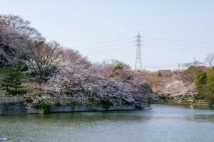 池沿いに咲き並ぶ桜の木